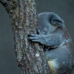 Aidez les animaux décimés d'Australie avec le Zoo de Beauval