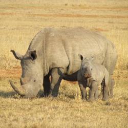 Protection des rhinocéros : un Français a trouvé la solution
